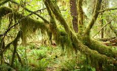 Las deszczowy Hoh