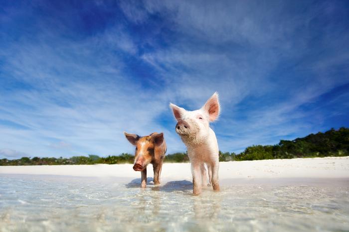Plaża Świń (Karaiby, Bahamy)