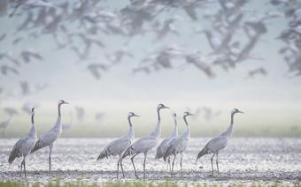 Dolina Odry: stado żurawi o świcie