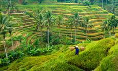 Bali. Tarasy ryżowe wokół Ubud