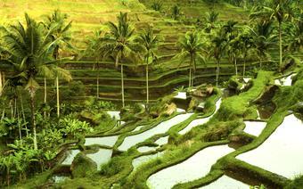 Tarasy ryżowe na Bali