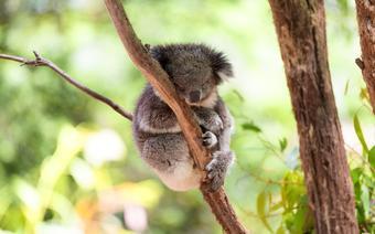 Australia - koala