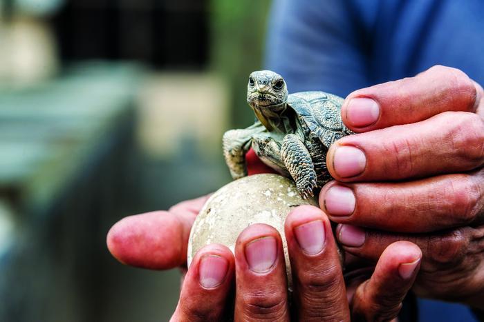 Żółwik na Galapagos