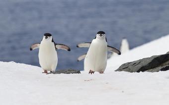 Pingwiny maskowe – mieszkańcy Antarktyki