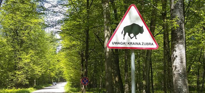 Śladami żubra w okolicach Białowieży