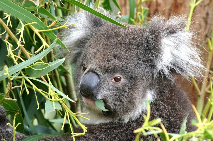 Koala na Wyspie Kangura w Australii