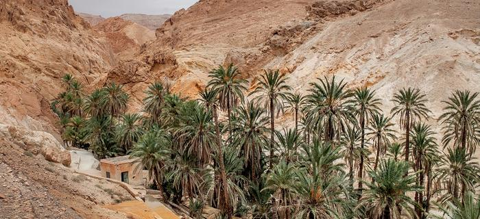 Gaj palmowy w oazie Szabika (fr. Chebika)