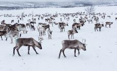 Finlandia zimą, stado reniferów w Laponii