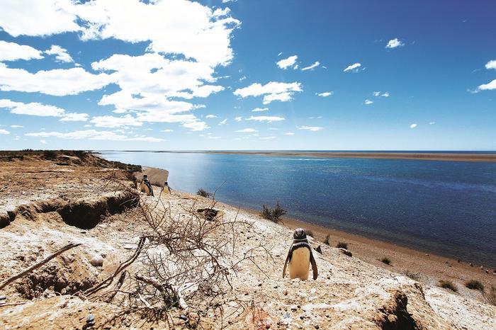 Pingwiny Magellana wrezerwacie napółwyspie Valdés