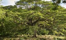 Francja, Saman (drzewo deszczowe) z parku Céron