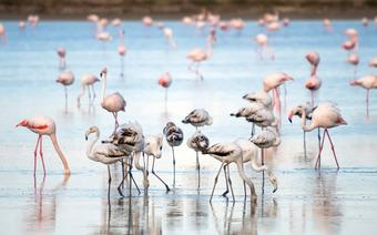 Cypr, flamingi brodzace w słonym jeziorze w Larnace