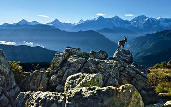 Koziorożec w Oberlandzie Berneńskim