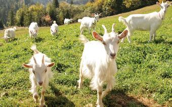 Kozy Karpackie w Gorcach
