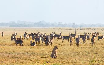 Lwica pośród młodych antylop w parku Gorongosa
