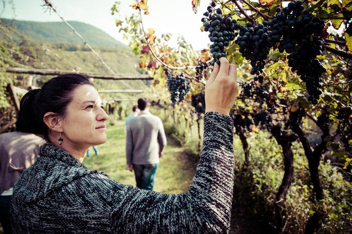 Winobranie w Trentino