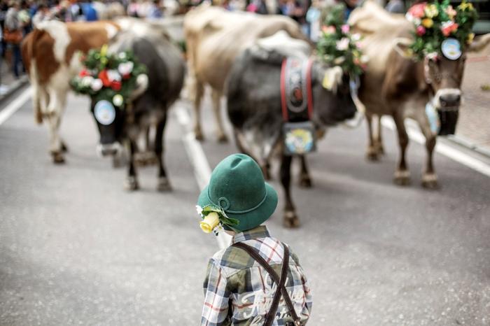 Trentino - krowy