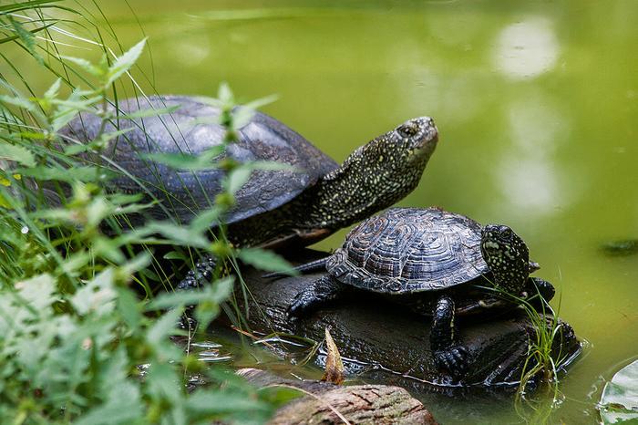 Dorosłe żółwie błotne mogą mierzyć ponad 20 cm, ale na bagnach trudno je zobaczyć