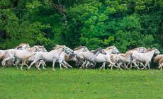 Lipicany to jedna z najszlachetniejszych ras koni na świecie