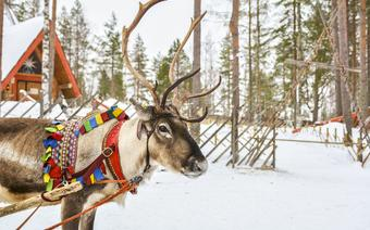 Renifer – jeden z symboli Laponii