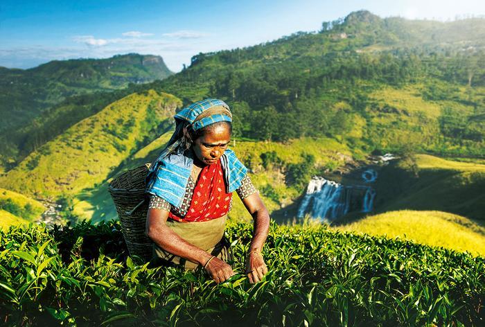 Znalezione obrazy dla zapytania zbieranie herbaty reklama