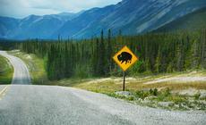 Alaska Highway jest królestwem zwierząt. Często towłaśnie one dyktują warunki nadrodze