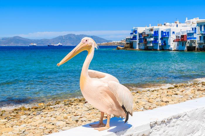 Pelikan na Mykonos