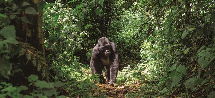 Przedstawiciel goryli górskich w Bwindi