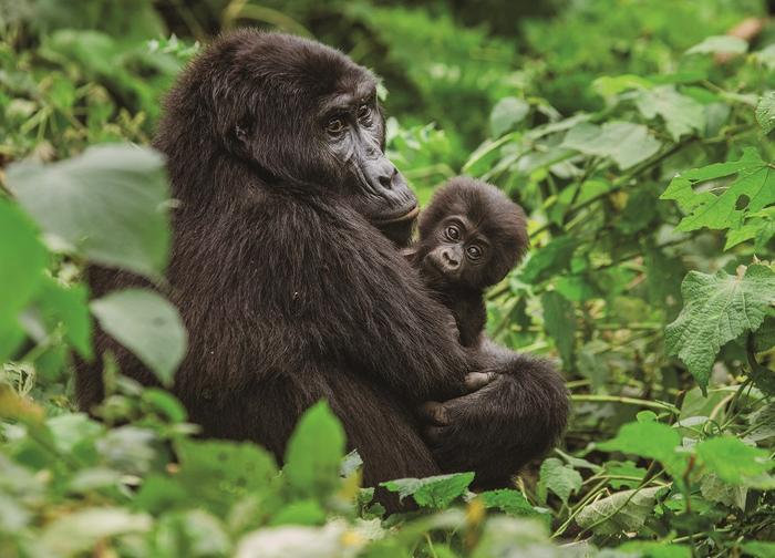 Rodzina goryli górskich