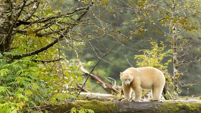 Niedźwiedź Kermode