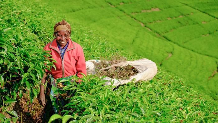 Plantacja herbaty w Kibuye, Rwanda