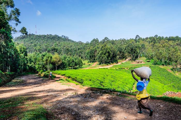 Plantacja herbaty w Rwandzie