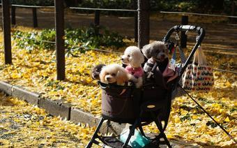 Pieski w Japonii