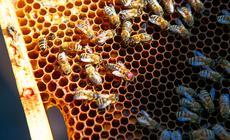 Królową pszczół oznaczasię opalitką, czyli kolorową kropką