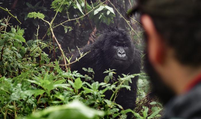 Mężczyzna obserwuje goryle górskie w Rwandzie