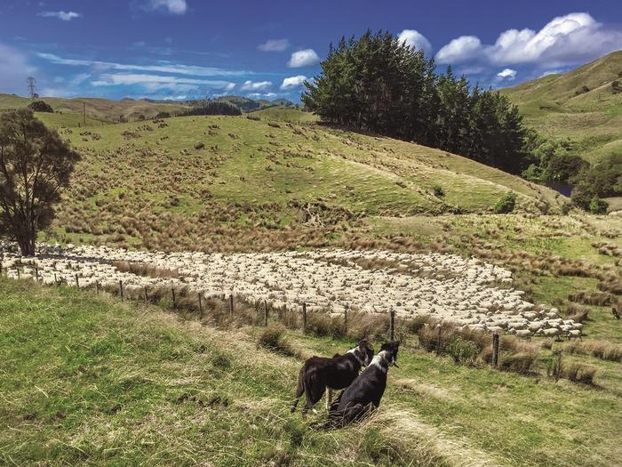Stado owiec pilnowane przez psy na farmie w Nowej Zelandii