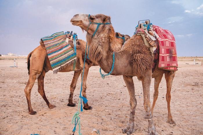 Wielbłądy na Saharze