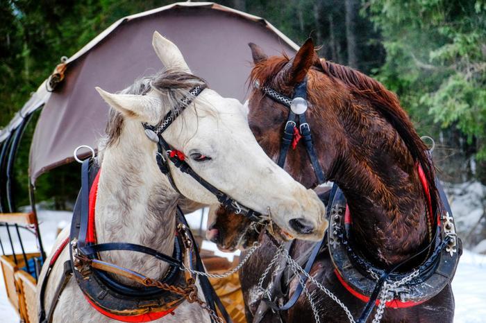 Konie pracujące na trasie do Morskiego Oka