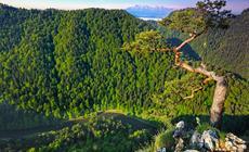 Słynna sosna z Sokolicy była symbolem Pienin. Niestety uszkodzoną podczas akcji ratowniczej koronę trzeba było usunąć. Dziś drzewo już tak nie wygląda.