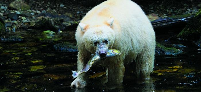 Niedźwiedziom białym poluje się na ryby łatwiej niż czarnym, dlatego też są zazwyczaj zdrowsze