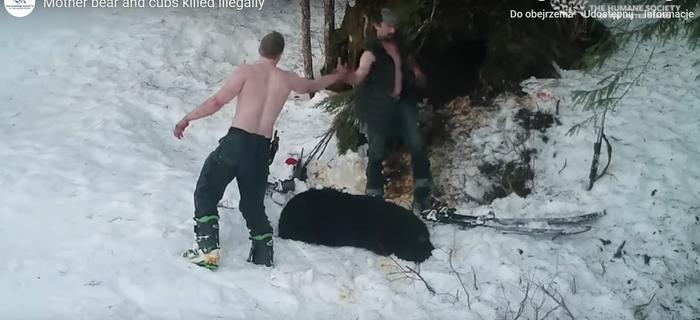Kłusownicy z zimną krwią zamordowali niedźwiedzicę i jej młode [WIDEO]