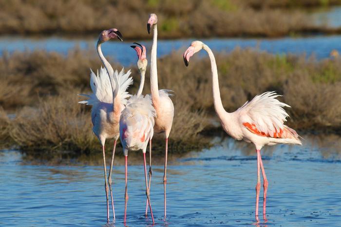 Flamingi na wybrzeżu Emilia Romagna
