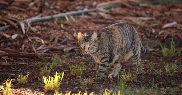 Dziki kot, Australia