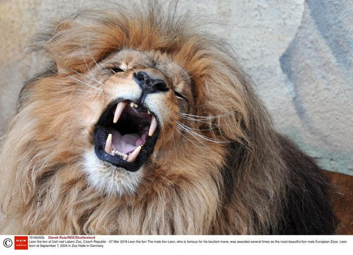 Lew jest jednym z pięciu najbardziej niebezpiecznych zwierząt afrykańskich