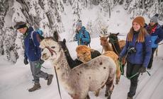 Tyrol stawiana lokalnosć! Nawet alpaki z farmy w Seefeld noszą imiona okolicznych szczytów