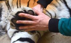 Tygrys z poznańskiego zoo