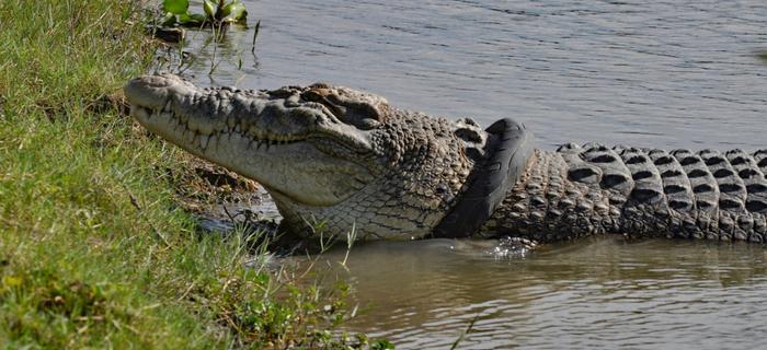 Krokodyl z oponą na szyi
