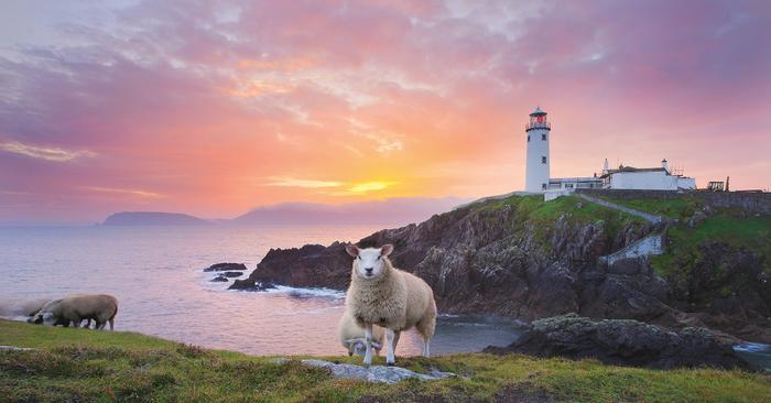 Irlandia. Owce malowane są na różne kolory dla rozróznienia do kogo należą