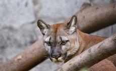Puma, zdjęcie poglądowe