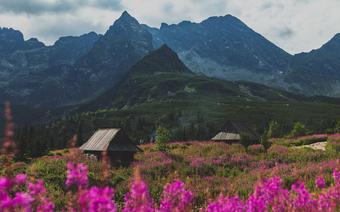 Hala Gąsienicowa usłana kwiatami. Zakwitła wierzbówka kiprzyca